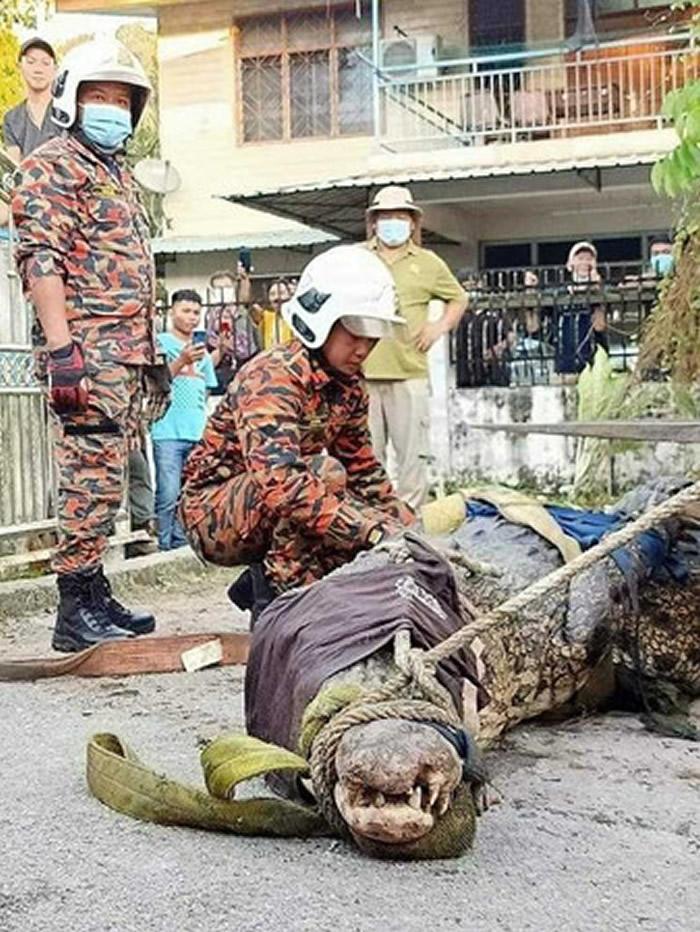 800公斤巨鳄现身马来西亚砂劳越住宅区 居民持枪猛射伤势过重遭人道毁灭