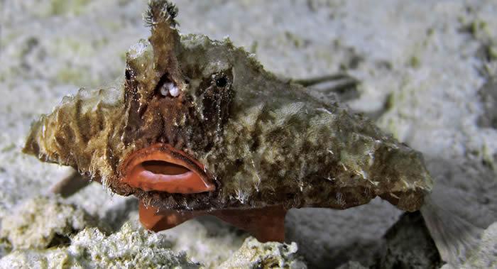 潜水员在加勒比群岛拍到不会游泳的鱼 French Key Cut频道播出这种稀有的短吻蝙蝠鱼