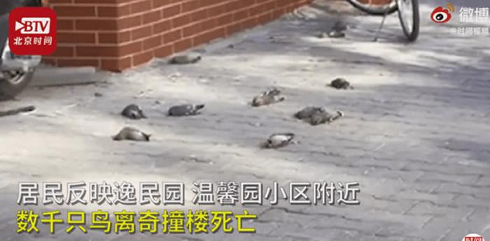 内蒙古包头社区每年同一地点有数百只鸟类撞楼死亡 杀手是玻璃幕墙