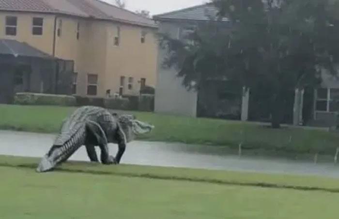 侏罗纪公园?美国佛罗里达州高尔夫球场酷似恐龙的巨大鳄鱼在漫步