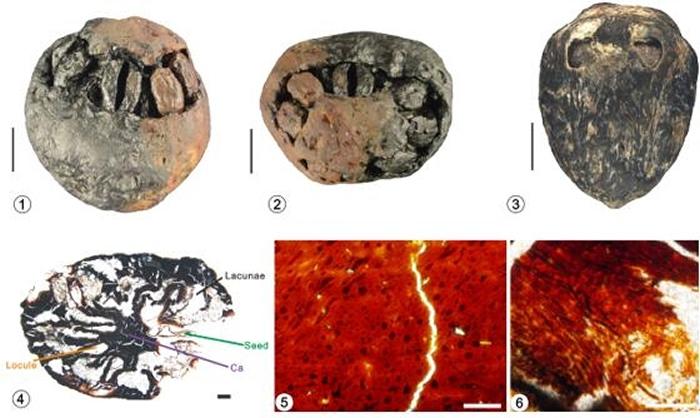 福建中新世南酸枣果实化石宏观形态(1-3)及微细结构特征(4-6)