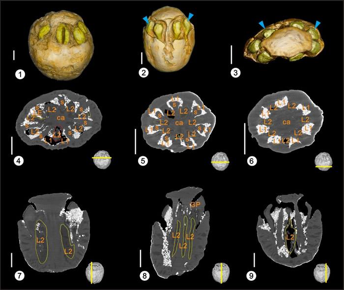 福建中新世南酸枣果实化石Mico-CT扫描宏观形态(1-3)及内部结构特征(4-9)
