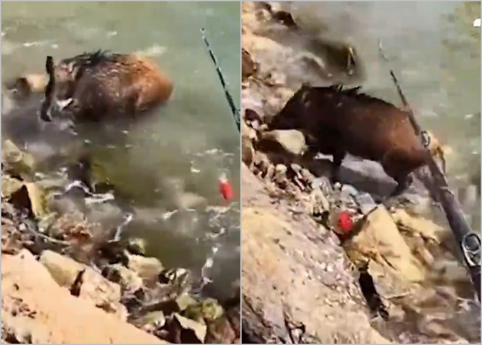 广东省深圳市男子钓鱼期间发现一头野猪 用鱼竿戏弄反被追赶