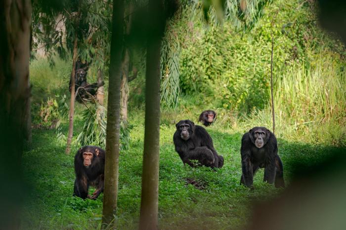 在乌干达的一群黑猩猩。有些黑猩猩的优势雄性采用铁腕统治,有些则以较温和的方式治理。 PHOTOGRAPH BY RONAN DONOVAN, NAT GEO I