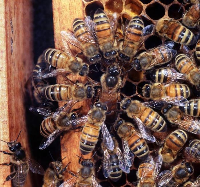 在英国的一个蜂巢中,工蜂们围绕着产卵的蜂后。 PHOTOGRAPH BY KIM TAYLOR, NATURE PICTURE LIBRARY