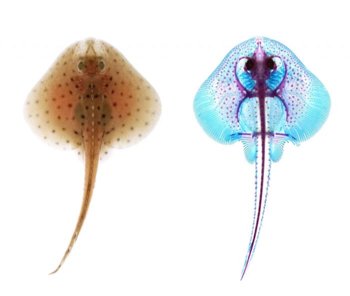 新研究表明鱼类的鳍是由鳃弓进化而来的理论可能是对的
