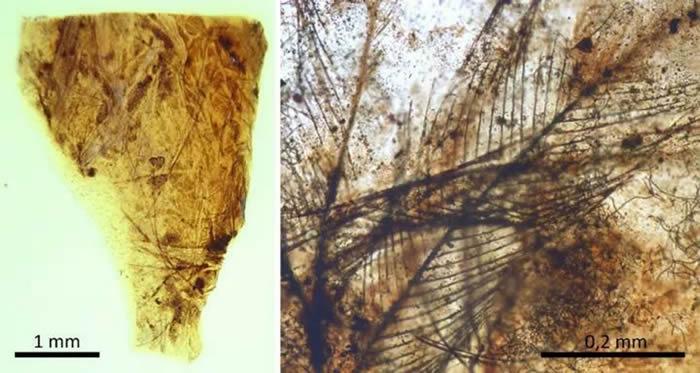 西班牙特鲁埃尔省琥珀中发现恐龙羽毛和世界上最古老的哺乳动物毛发
