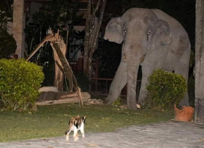 泰国那空那育府3岁虎斑猫守护家园勇敢逼退来觅食的4吨重大象