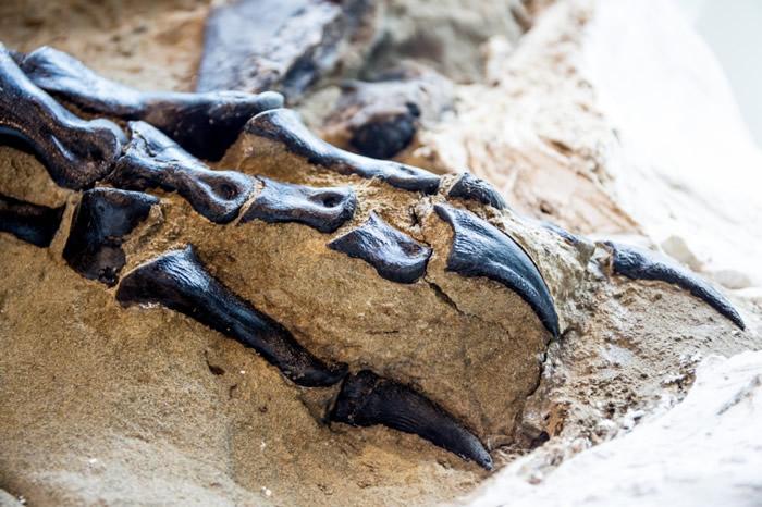 """罕见三角龙与霸王龙的""""决斗恐龙""""化石将首次向公众展出"""