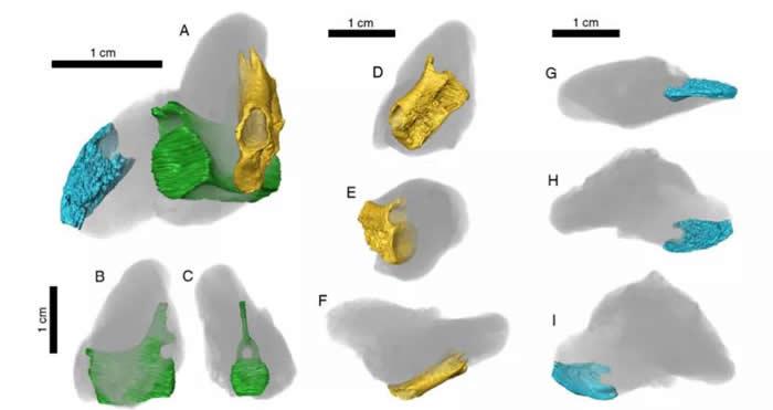 鲨鱼粪化石内部的三块骨骼,蓝色为鱼类头骨,绿色和黄色为海洋爬行的尾椎。