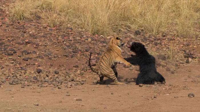 印度塔多巴老虎保护区孟加拉虎与懒熊激战