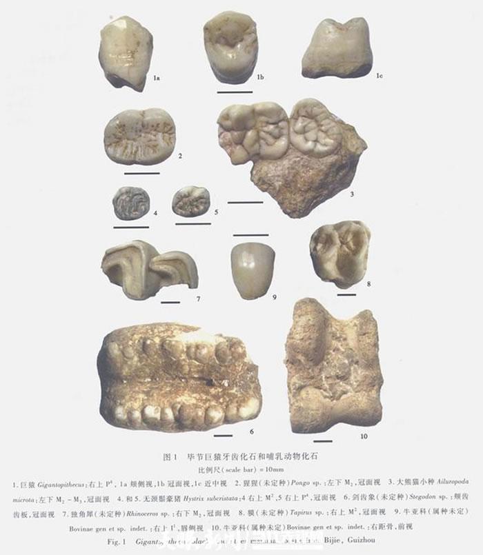 毕节巨猿牙齿化石和哺乳动物化石(张兴龙供图)