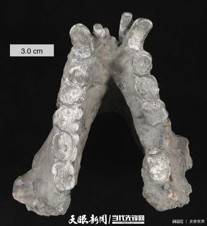 巨猿的下颌骨(资料图)