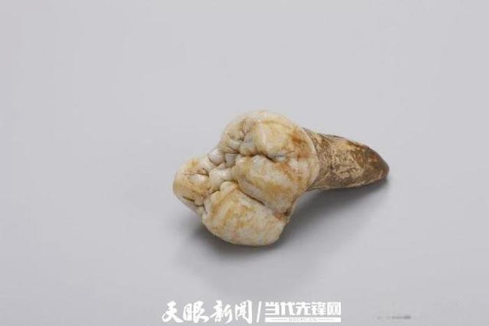 巨猿的牙齿化石(资料图)