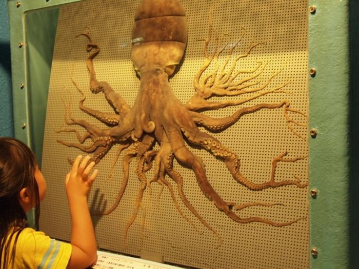三重县的水族馆有一只96只触手的章鱼标本。