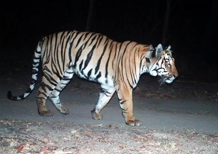 印度3岁半雄性老虎Walker为求偶走了3000公里