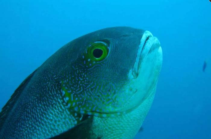 """西澳大利亚海岸发现的一条81岁子夜笛鲷改写热带珊瑚礁鱼类的""""长寿""""记录"""