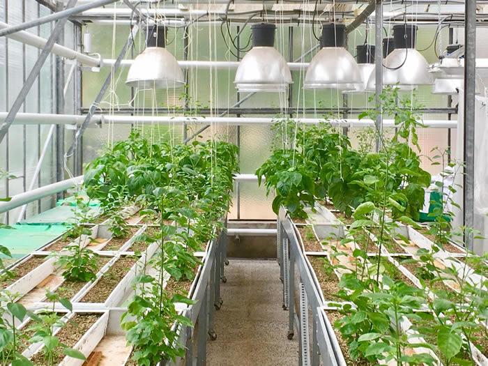 在有竞争对象时植物的根系会过度生长以抢夺附近的资源