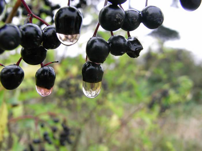"""深色浆果""""黑加仑""""被发现对餐后血糖和胰岛素有明显的影响"""