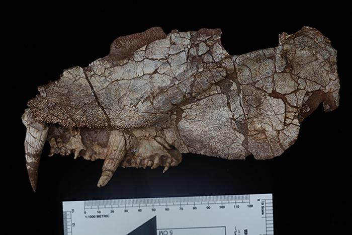 《化石记录》杂志:产自山西阳泉晚二叠世的始椎类化石新种——阳泉长寿螈