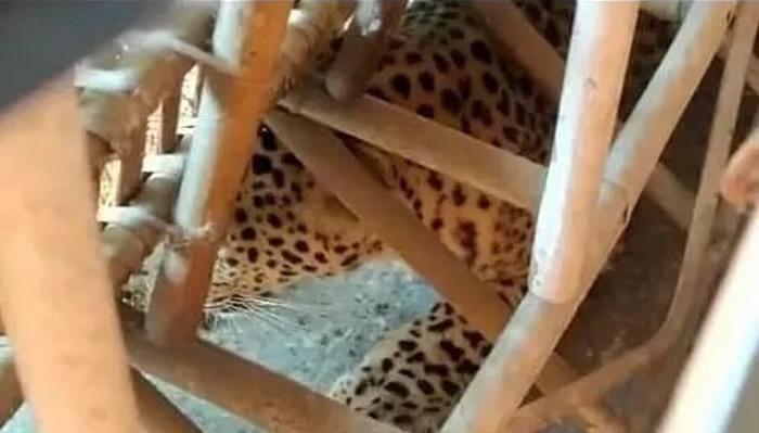 印度阿萨姆邦古瓦哈蒂美洲豹潜入旅舍躲于沙发底 老板以为是一块布