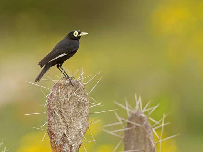 斑眼霸鹟生活在环境恶劣干燥的沙漠中,最新研究表明,在这些气候极端的沙漠中,新物种孕育的速度通常比生物多样性丰富的地方(例如:亚马逊地区)更快。