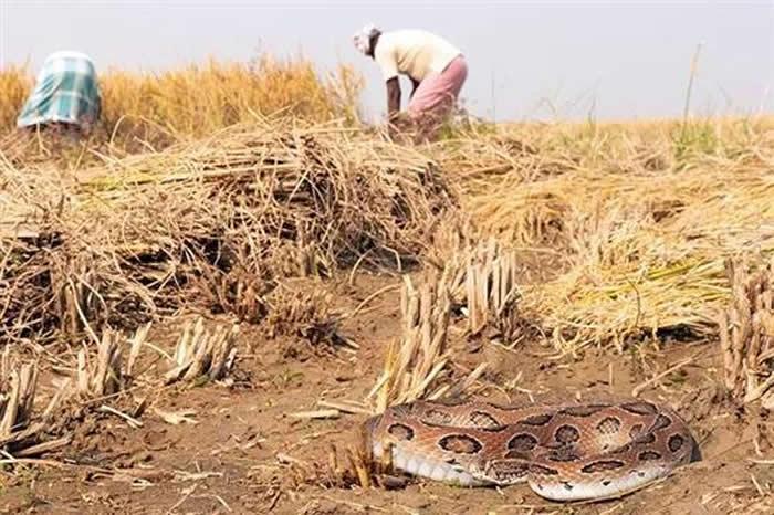 印度每年有4.59万人被蛇咬死 占世界一半以上