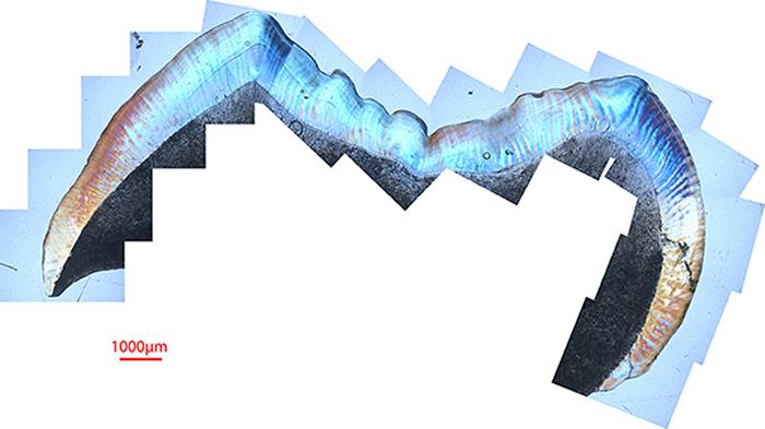 臼齿化石釉质纵切面合成照片