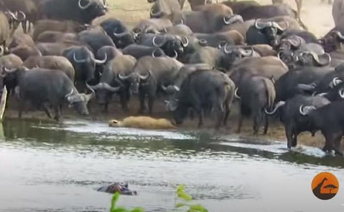 南非克鲁格国家公园母狮猎食误入水牛群活活被抛飞惨死