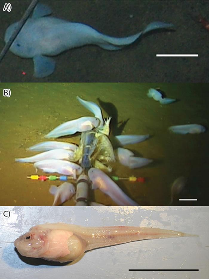 """马里亚纳狮子鱼生活在海洋8000米深 """"最深的深海鱼""""如何承受住如此巨大的压力?"""