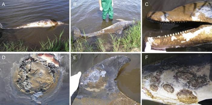 《科学报告》期刊:研究称气候变化导致海豚易患淡水皮肤病