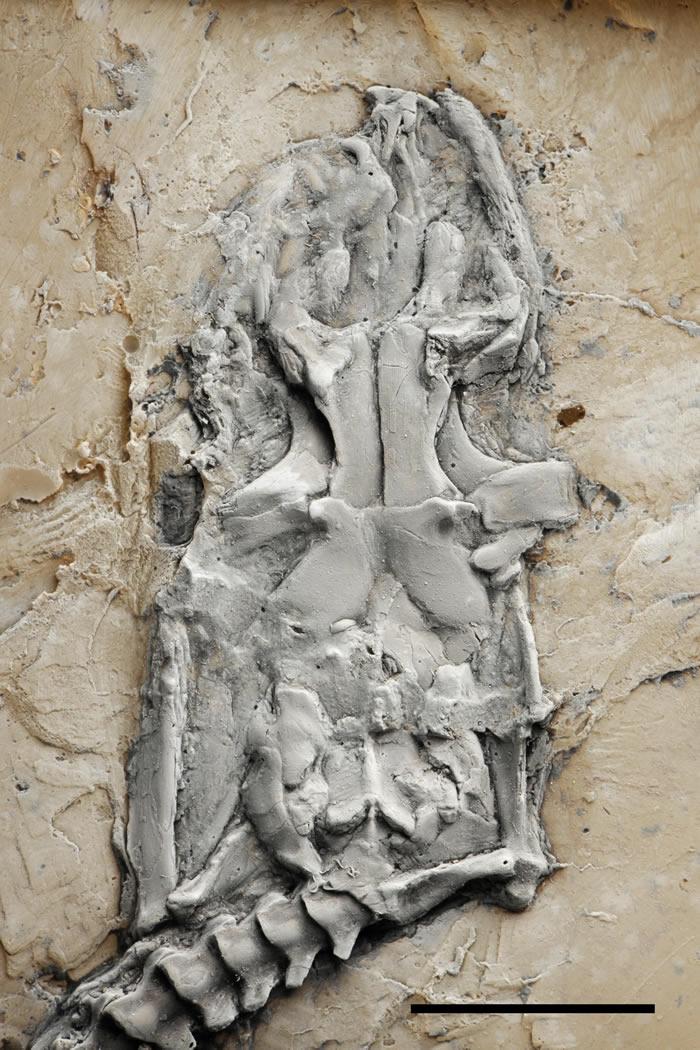 德国梅塞尔化石坑出土4800万年前蟒蛇化石 梅塞尔蟒刷新已知最古老纪录