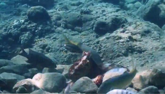 专家表示,章鱼和鱼类事实上相处并不融洽,「章鱼打鱼」就是一种控制伙伴的机制。(图/翻摄自Eduardo Sampaio推特)