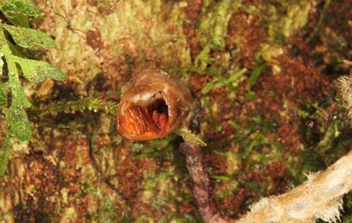 世界上最丑的兰花Gastrodia agnicellus,长相有如怪物。