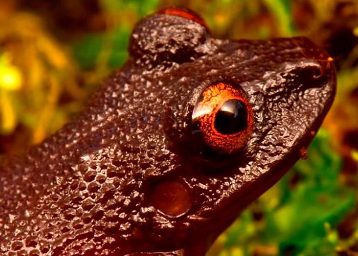魔眼蛙消失多年。