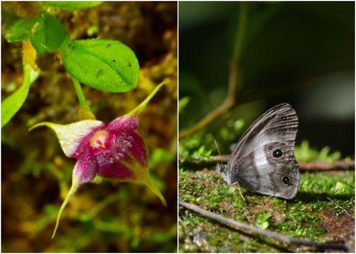 科学家另发现新品种兰花(左图)和消失多年的蝴蝶品种(右图)。