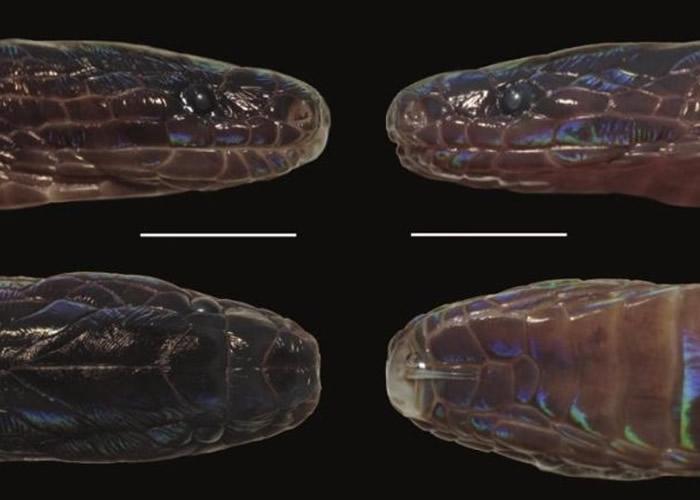 "《Copeia》:接壤中国的越南河江省发现新品种""奇鳞蛇""Achalinus zugorum"