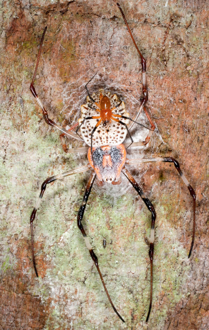 图中是一只小雄性硬币蛛,它守护着自己的配偶,随时准备击退更多的追求者。在性交过程中阉割自己生殖器官的雄蛛比完好无损的对手更灵活、更有战斗力。