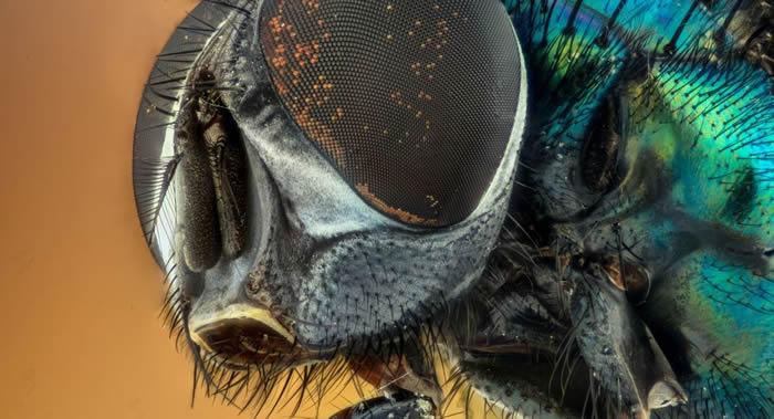 印第安纳大学科学家提议使用丽蝇寻找化学武器