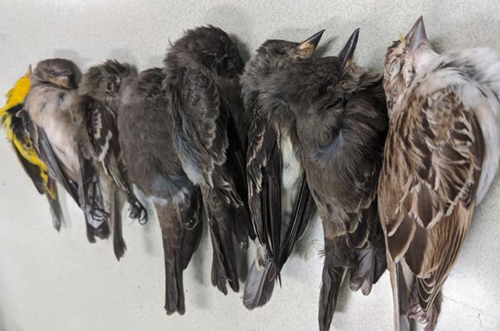 美国百万鸟类神秘集体死亡的关键原因曝光