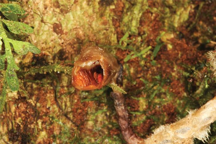 Gastrodia agnicellus被英国皇家植物园称为世界上最丑的兰花