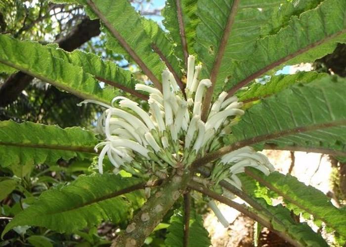 美国夏威夷西毛伊岛山脉发现植物新物种Cyanea heluensis