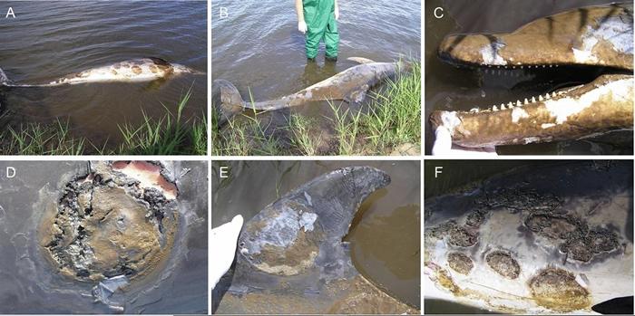 2007年一只成年雌性澳洲瓶鼻海豚被发现死于严重皮肤病。照片来源:《科学报告》期刊