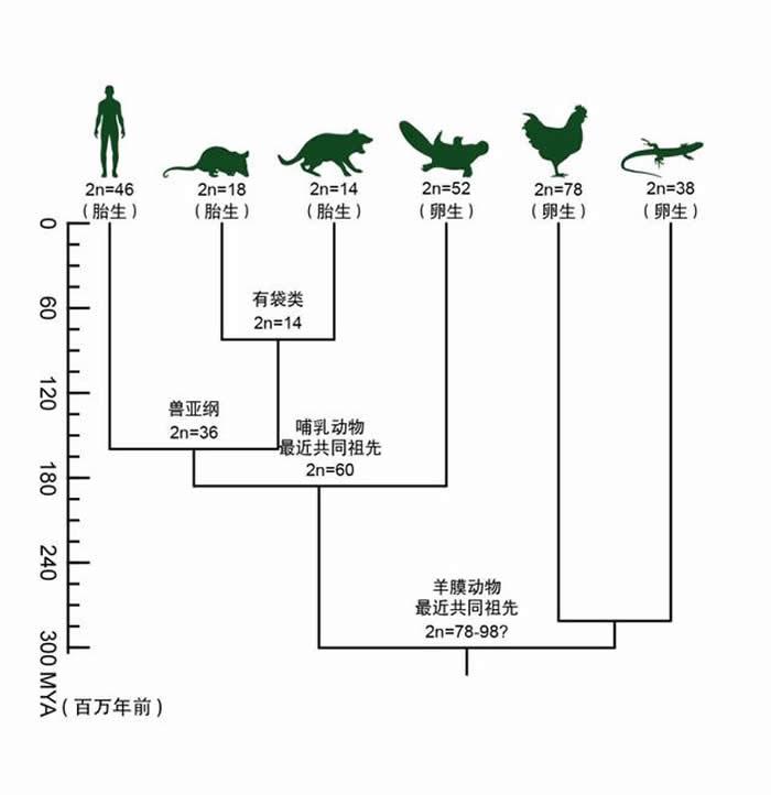 哺乳动物染色体演化历程简图(周旸等 绘)