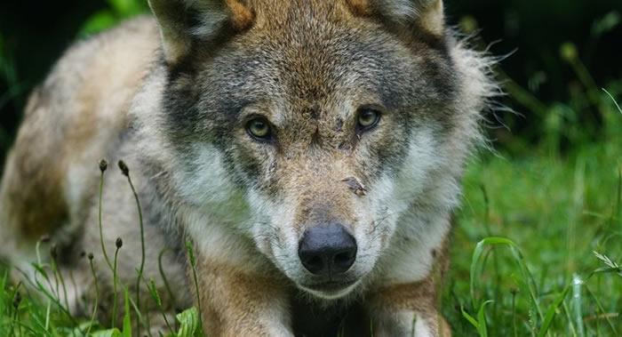 战斗民族!俄罗斯犹太自治州农民徒手勒死攻击自己的一只母狼