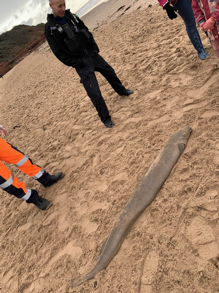 康吉鳗还是海鳗?英国德文郡海岸发现一米多长海怪
