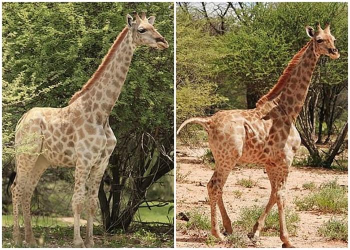 非洲乌干达的默奇森瀑布国家公园首次发现患有侏儒症的长颈鹿只有同类平均身高的一半