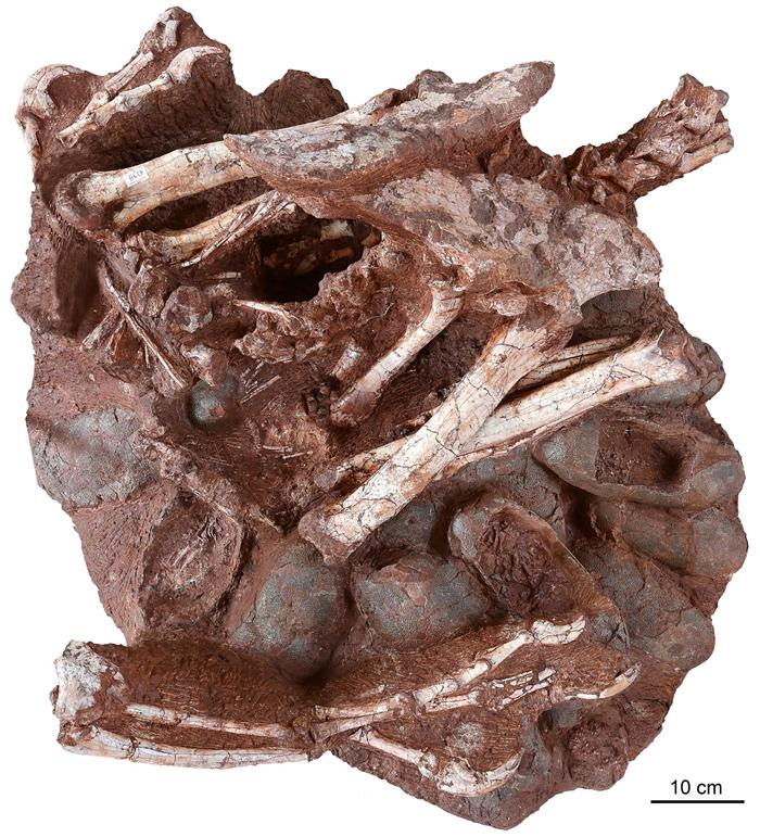 江西赣州晚白垩世地层中正孵卵的窃蛋龙化石与现代鸟类孵蛋姿态一致