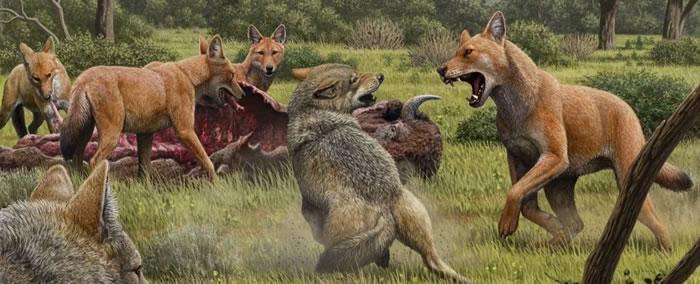 在晚更新世的北美洲某处,一群恐狼正在啃食捕杀野牛,旁边两只灰狼希望可以蹭到一些食物。图片来源:Mauricio Antón