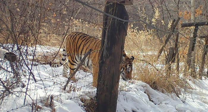 俄罗斯哈巴罗夫斯克边疆区自然资源部专家在中俄边界救起一只极其虚弱的雌性阿穆尔虎